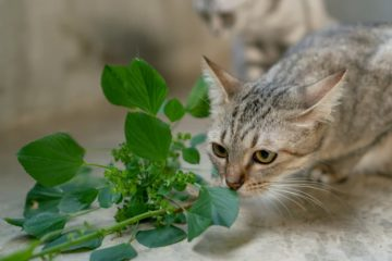 Are cats supposed to eat catnip?