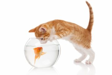 Can cats drink fish tank water?