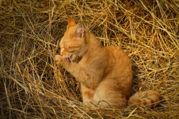 Can cats eat hay?