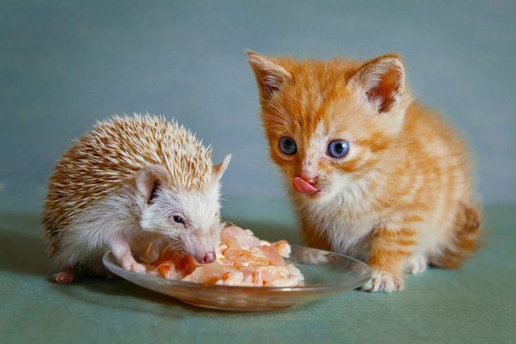 Can cats eat hedgehog food?