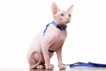 Can Sphynx cats wear collars?
